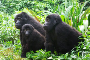 gorillas-in-bwindi-impenetrable-forest2