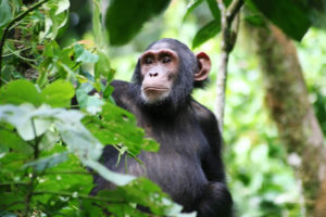 chimp-tracking