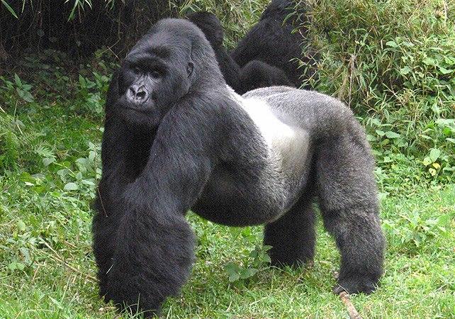 gorillas-trekking