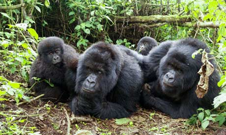 Gorilla family in Rwanda, Volcanoes national park