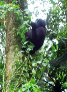 one-of-the-young-gorillas-playing